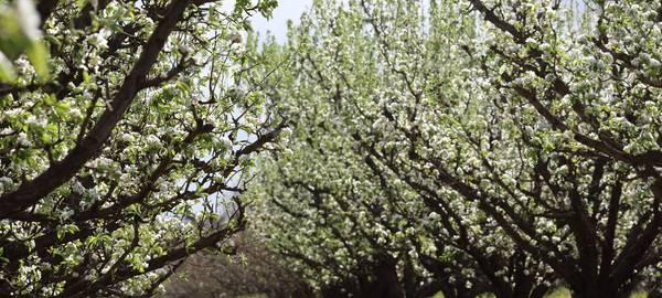 Blossom_4