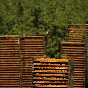 Apricots drying